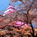 鶴ケ城の桜見頃 「椿坂」ライトアップ