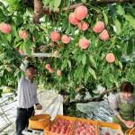 【福島】梁川でモモ収穫 甘味上々