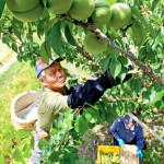 青々丸々 美里で高田梅の収穫最盛期
