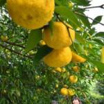 ユズ香り高く 7日立冬、陸前高田で収穫盛ん